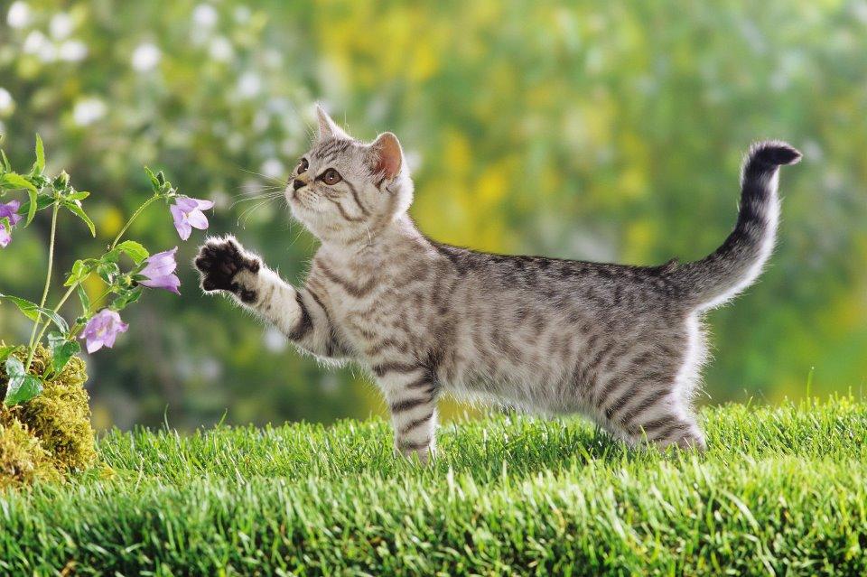 bronquite-asma-felina.jpg