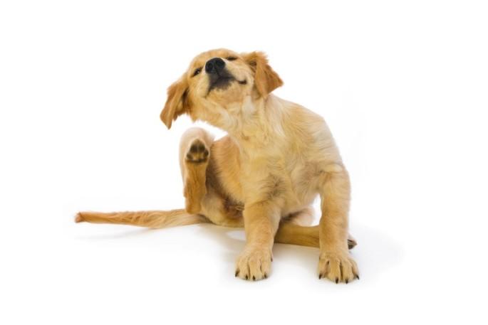 Dog-scratching-685x457.jpg