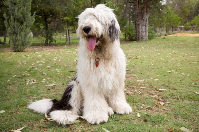Old-English-Sheepdog red