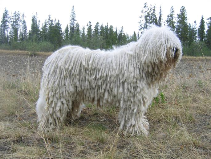 komondor red