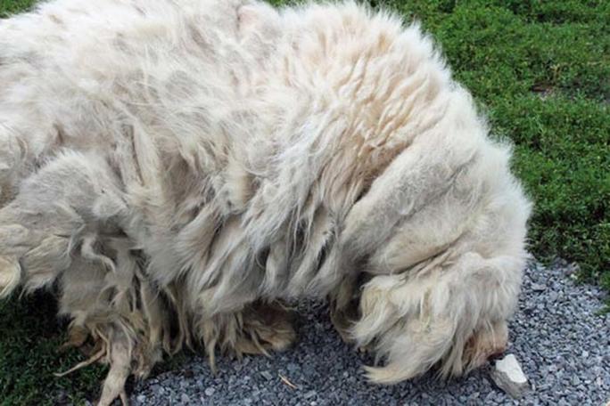 Exemplo de um cão negligenciado, com o pêlo totalmente embaraçado.