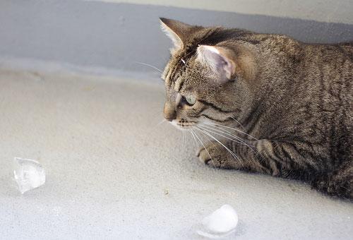 Gato brinca com Gelo